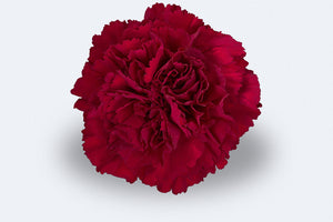 Zurigo Carnations by Colombia Direct
