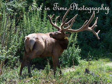 Yellowstone Elk Is Just Spectacular!