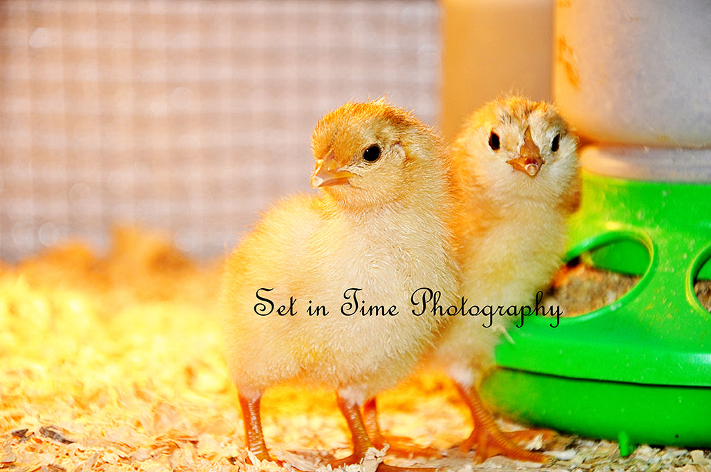 Spring Chickies