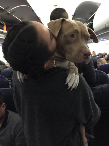 Pit-Bull-Being-Carried-On-An-Airplane-For-A-Flight-Home