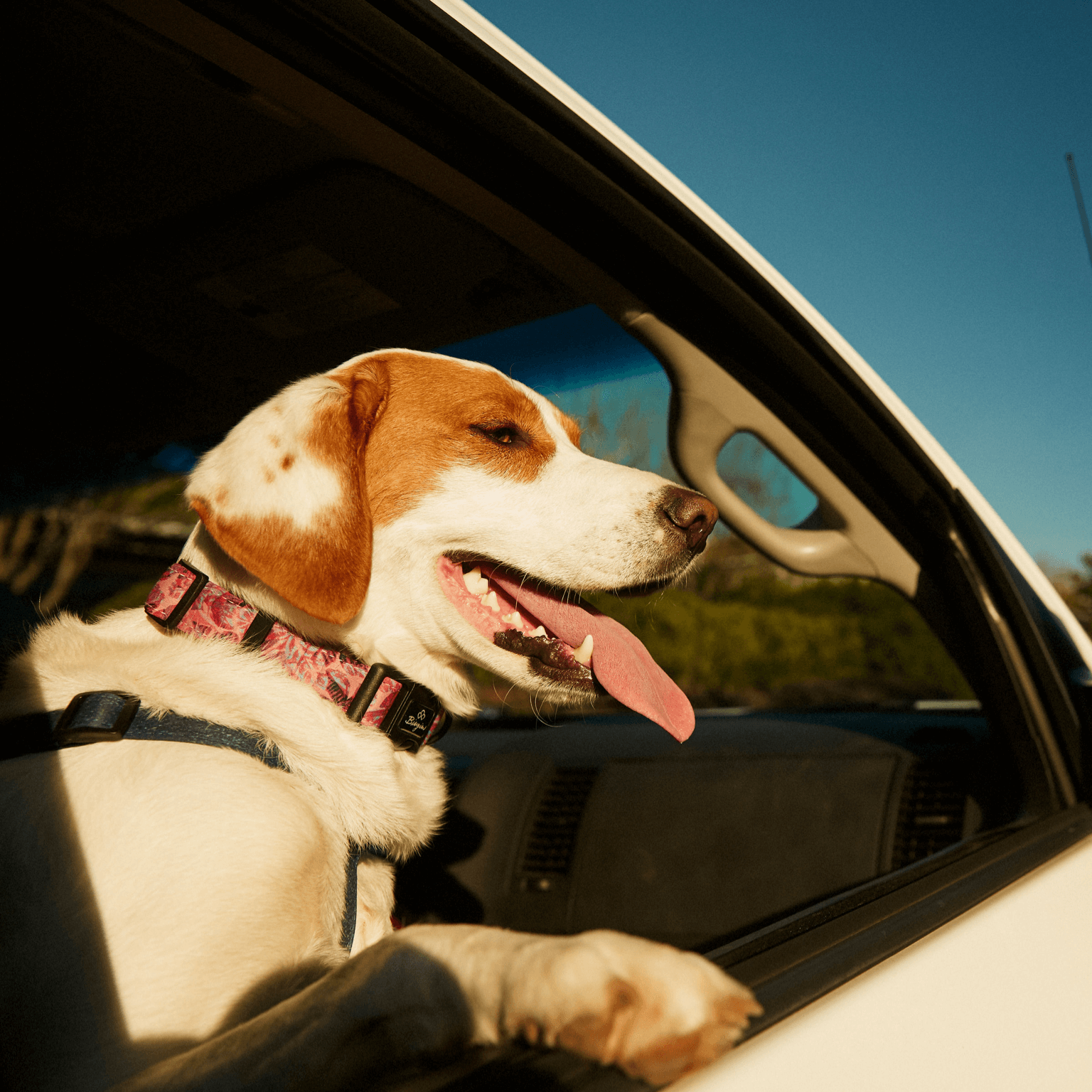 Happy Labrador leaning out of a sunny car window, tongue hanging out; wearing a Bingin Dog 'Hanalei' waterproof dog collar.