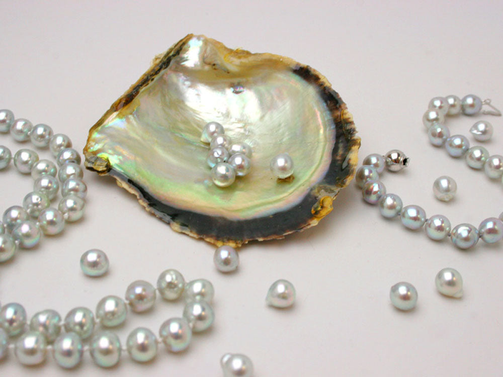 Blue Akoya pearls in pinctada shell