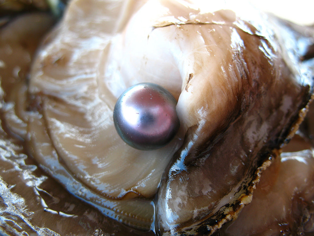 Sea of Cortez Pearl in Shell During Harvest