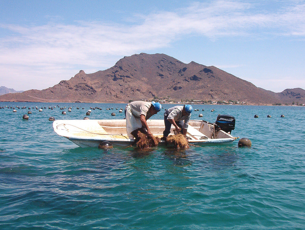 Workers pulling up the oyster lines for cleaning in Bocachibampo Bay, Guyamas, Mexico.
