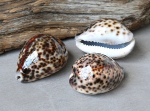 Tiger Cowrie Shell Specimen