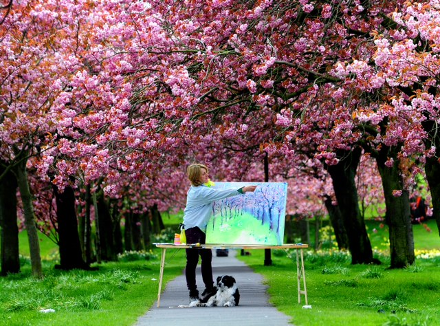 Cherry blossoms, paintings and Blossom Watch by The National Trust in Britain