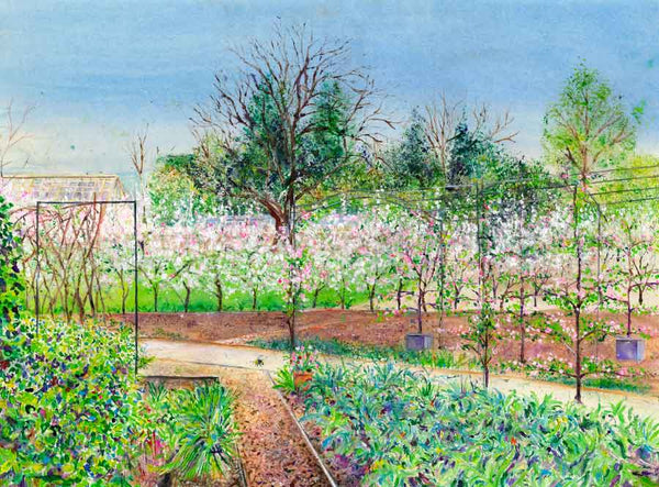Painting of Apple Blossom Hedge in the Kitchen Garden at RHS Garden Harlow Carr