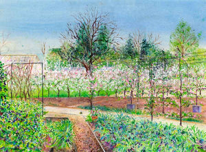 Apple Blossom Hedge in the Kitchen Garden at RHS Garden Harlow Carr, April, print