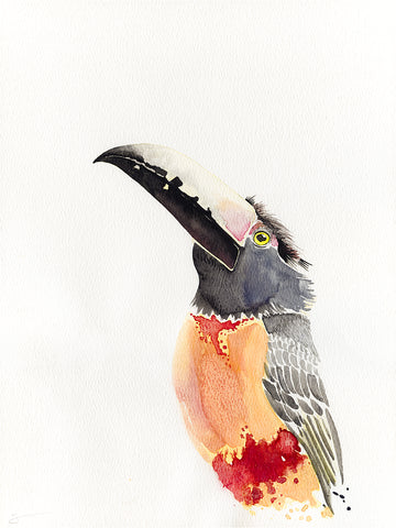 Collared aracari watercolor painting
