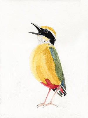 Indian pitta watercolor painting