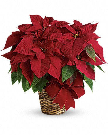 "6"" Red Poinsettia"