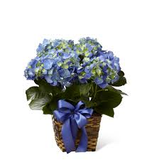 "6"" Hydrangeas ( available from April)"