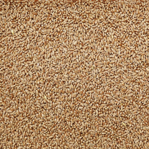 ORGANIC HARD RED WHEAT, spring/winter, kernels (Treasure Life Farms) | Organic Matters