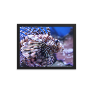 This horizontally rectangular black frame contains a picture of the pectoral portion of a poisonous lionfish facing to the right.