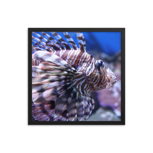 This square black frame contains a picture of the pectoral portion of a poisonous lionfish facing to the right.