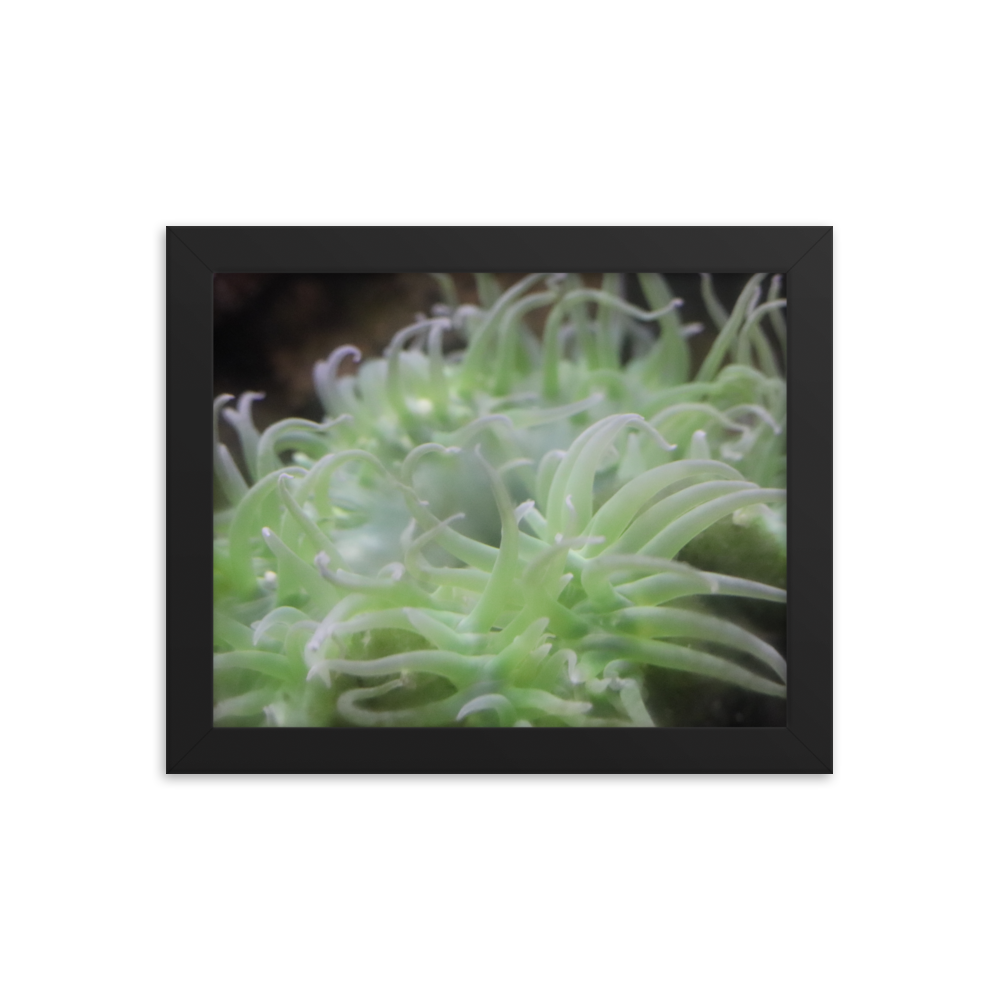 Wrap your mind around a verde green anemone  with pink tipped tentacles wrapped in a horizontally rectangular frame. The black background of this piece makes the green creature appear at a more high contrast and makes the appeal of the picture insatiable.