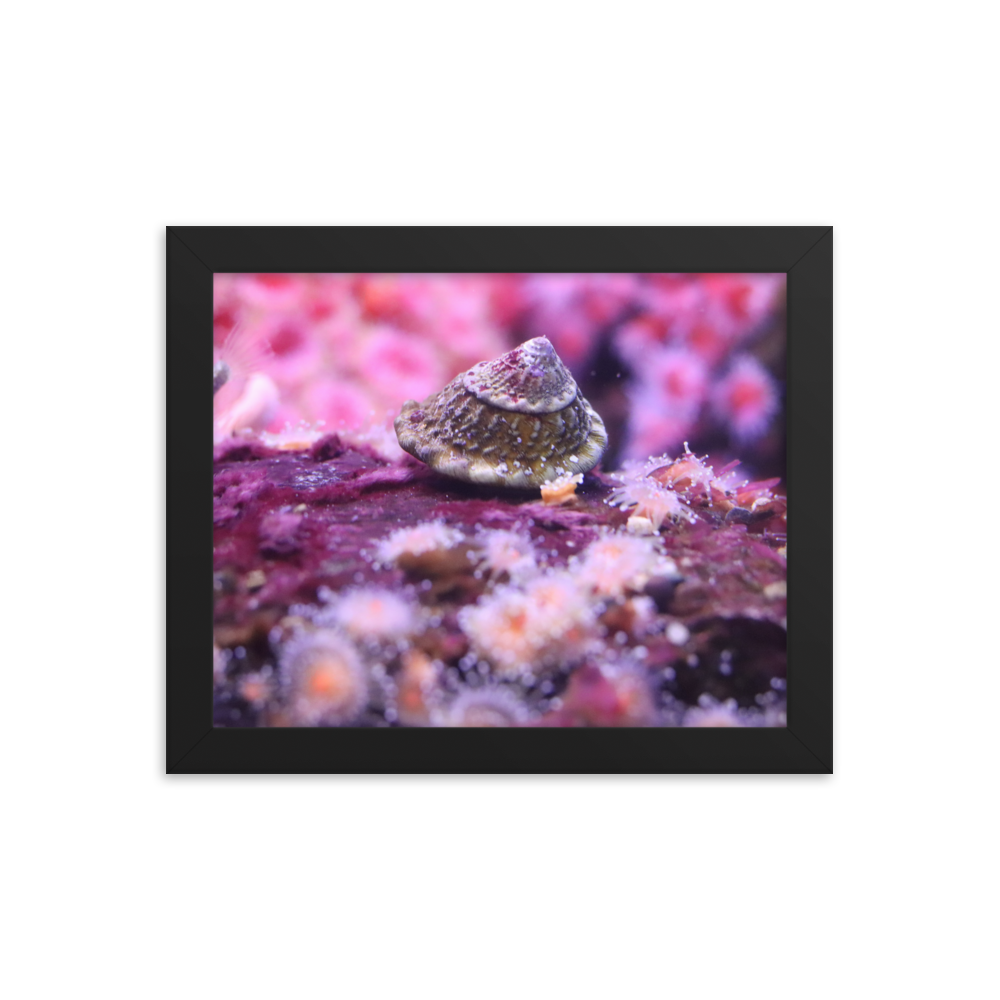 An astrea snail moves towards the left side of this black horizontally rectangular framed picture on a piece of pink coral and is surrounded by tiny pink polyps in background and foreground.