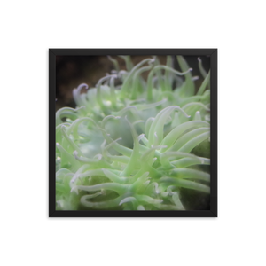 Wrap your mind around a verde green anemone  with pink tipped tentacles wrapped in a square black frame. The black background of this piece makes the green creature appear at a more high contrast and makes the appeal of the picture insatiable.