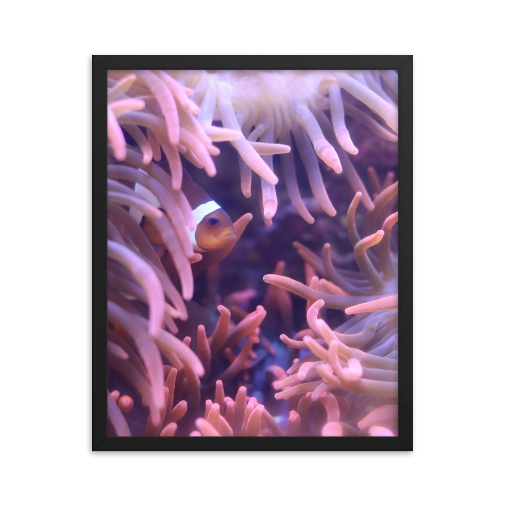 Within the confines of a black vertical rectangular frame, a single clownfish sits nestled within a a bed of thriving pink anemone tentacles.