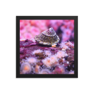 An astrea snail moves towards the left side of this black square framed picture on a piece of pink coral and is surrounded by tiny pink polyps in background and foreground.