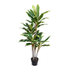 "Dracaena in Round Pot, 52""H"