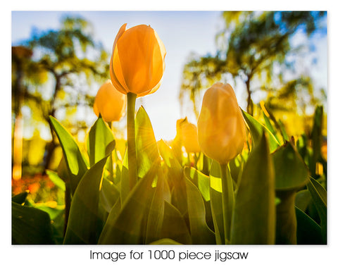 Glowing Tulips, Canberra ACT