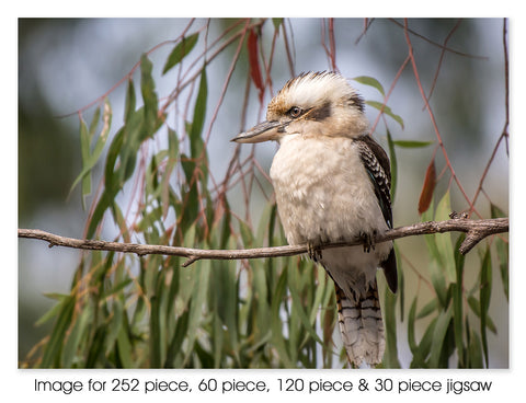 Kookaburra in Gum Tree