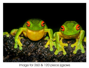 Red-eyed Green Tree Frogs