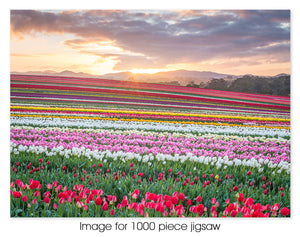 Tulip Rainbow at Sunrise
