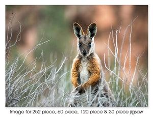 Yellow Footed Rock Wallaby, SA