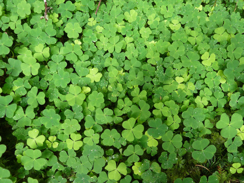 A covering of white clover for St. Patrick's Day. Is there a hidden four leaf clover?