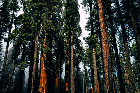Redwood Trees in Sequoia National Park California