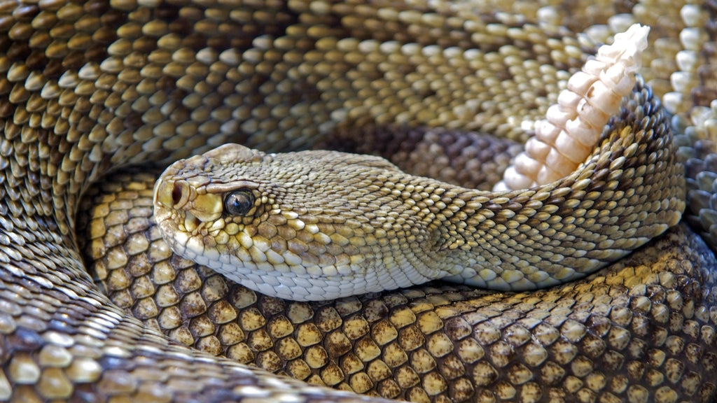 How to protect yourself from rattlesnakes