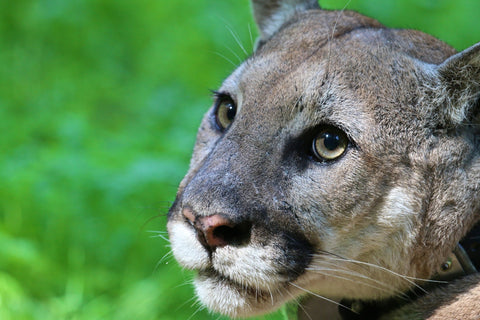Mountain Lions aren't as dangerous as people think