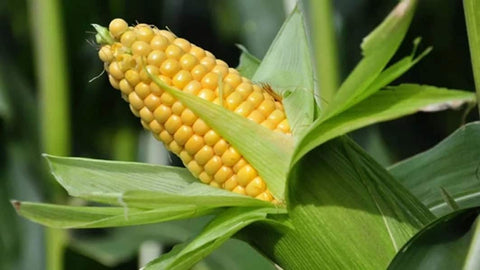 Genetically modified crop