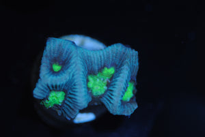 Neon Green Eye Goniastrea