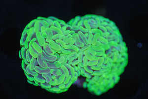 Copy of Neon Hammer Coral