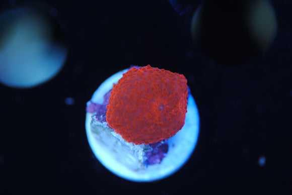 Blood Red Discosoma Mushroom