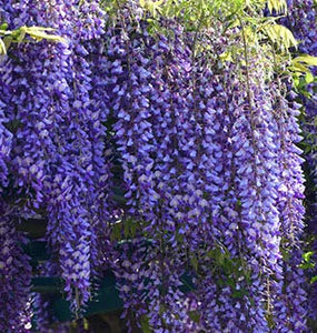 "Beautiful Blue Moon Wisteria Tree Plant 8-12"" Tall Potted Plant Fragrant Flowers Seeds BulbsPlants& MoreAttracks Hummingbirds, in Dormancy"