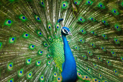 Peacock and Symbolism in Indian Jewellery