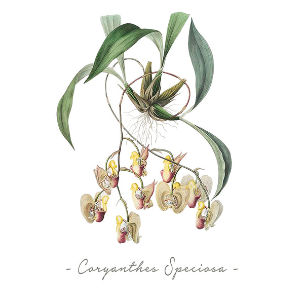 Vintage Orchid Illustration Square Throw Pillow Case ONLY (Coryanthes Speciosa)