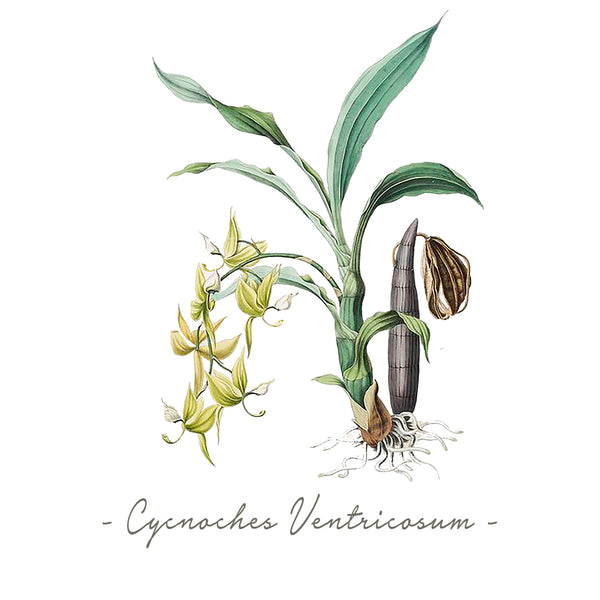 Vintage Orchid Illustration Tote Bag (Cycnoches Ventricosum)