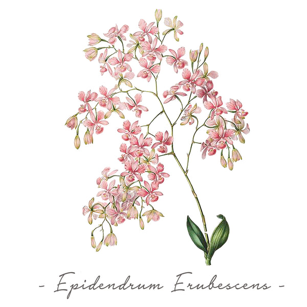 Vintage Orchid Illustration Women's Tank Top (Epidendrum Erubescens)
