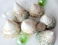 Green Trocha Seashell, Green Trochus Niloticus Specimen Shell, Green Wedding Shell, 1PC, 2-2.5""