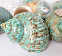 Jade Green Turban Shell, Burgess Jade Green Turbo Shell, Wedding Shell, 4""