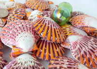 pectin pallium, scallop shell, scallop seashell, orange scallop, purple scallop