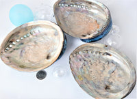 Green OR Blue Abalone Seashell, Emerald Green OR Marine Blue Abalone Specimen Wedding Shell, 6-7""