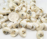 Baby Cinerus Shell, Beach Wedding Polished Pearl White Cinerus Seashells,12 PC