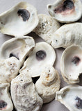 DRILLED White Oyster Seashells, DRILLED White Oysters for Beach Wedding, Coastal Decor or Crafts, 12PC