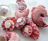 red delphinula shell, red delphinula seashell, pink delphinula, red seashells, red shells, pink shells